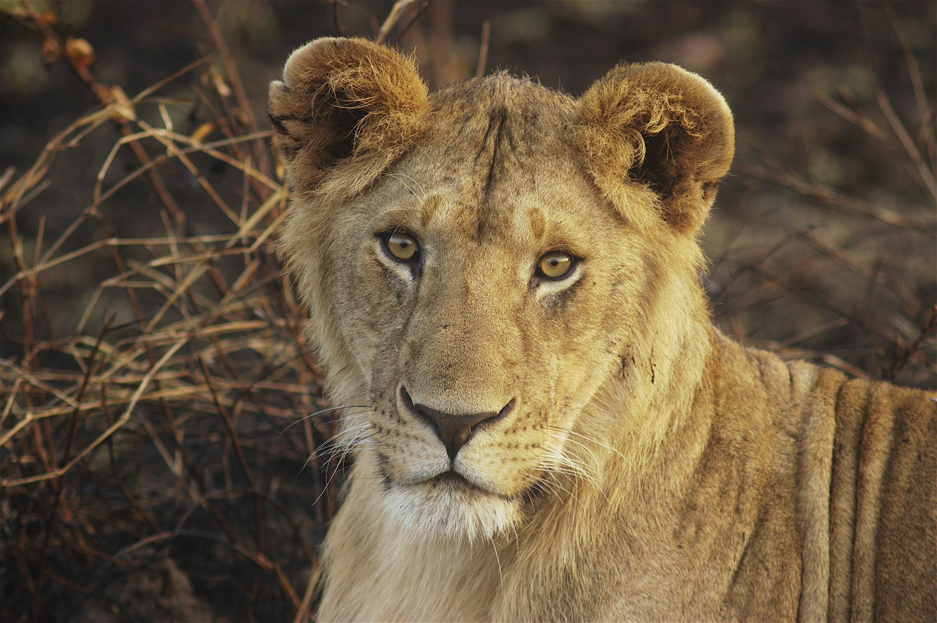 Lion Cub - Mara