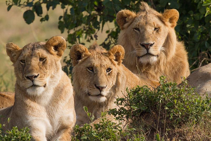 800px-Lions_Family_Portrait_Masai_Mara