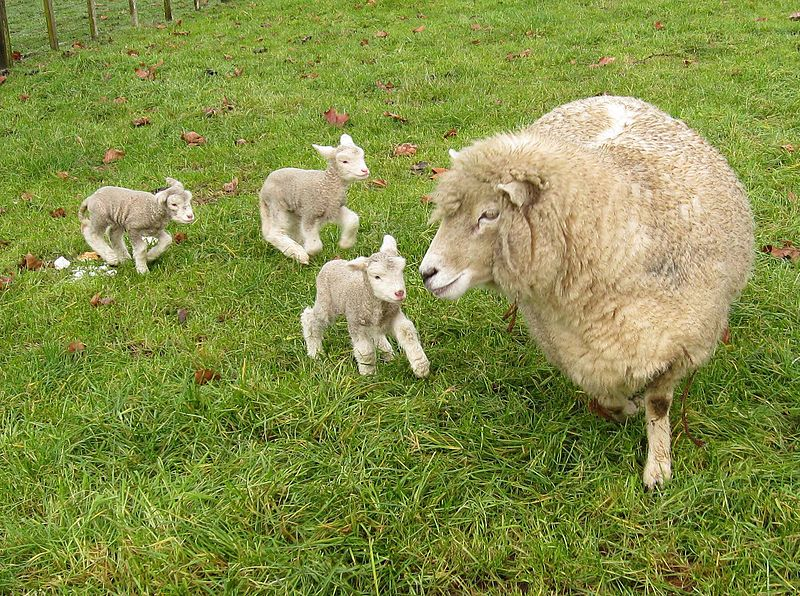800px-Romney_sheep,_ewe_with_triplet_lambs_in_New_Zealand
