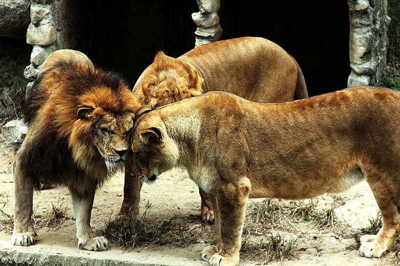 Lions huddle