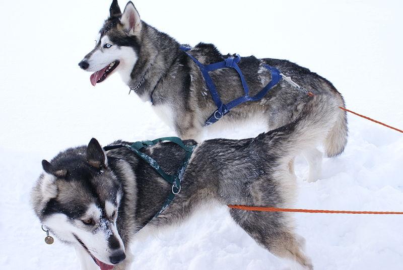 Siberian_Huskies_(431778423)