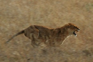 Serengeti_Lion_Running_saturated
