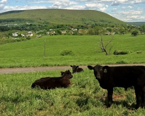 Cows report sky in place above Mt. Nittany.