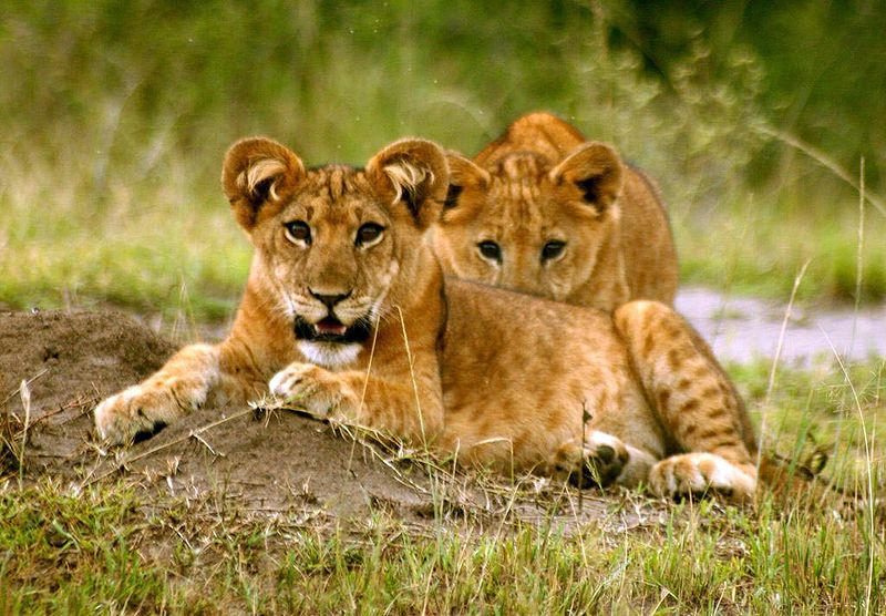 Lion Cubs - Two